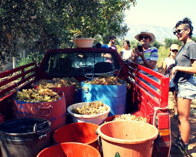 winobranie w grecji (1)