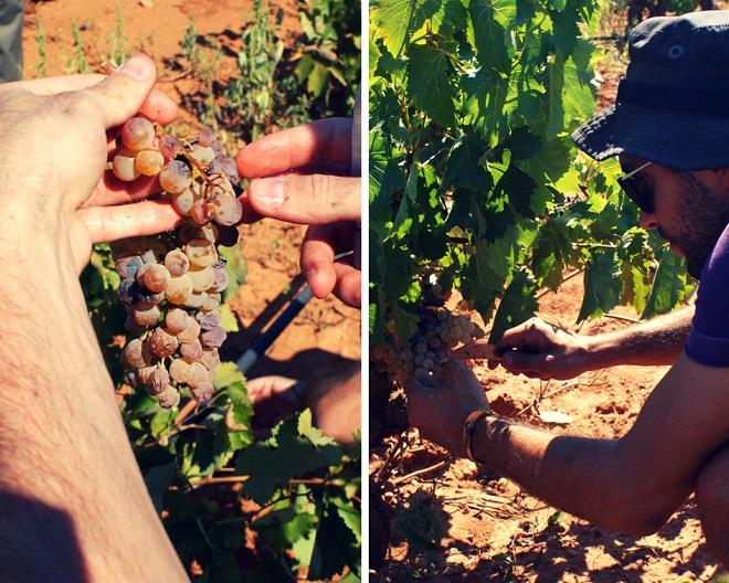 winobranie w grecji (13)