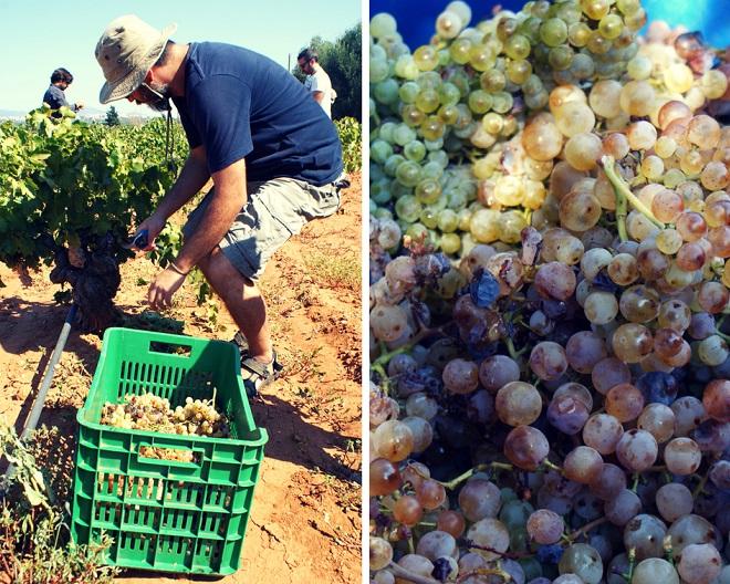 winobranie w grecji (16)