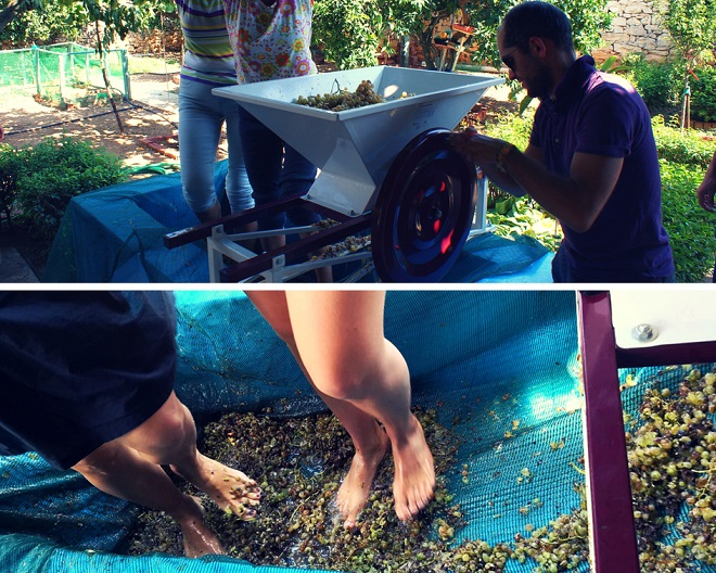 winobranie w grecji (5)