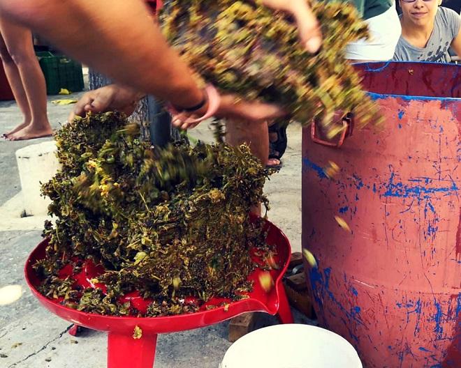 winobranie w grecji (7)
